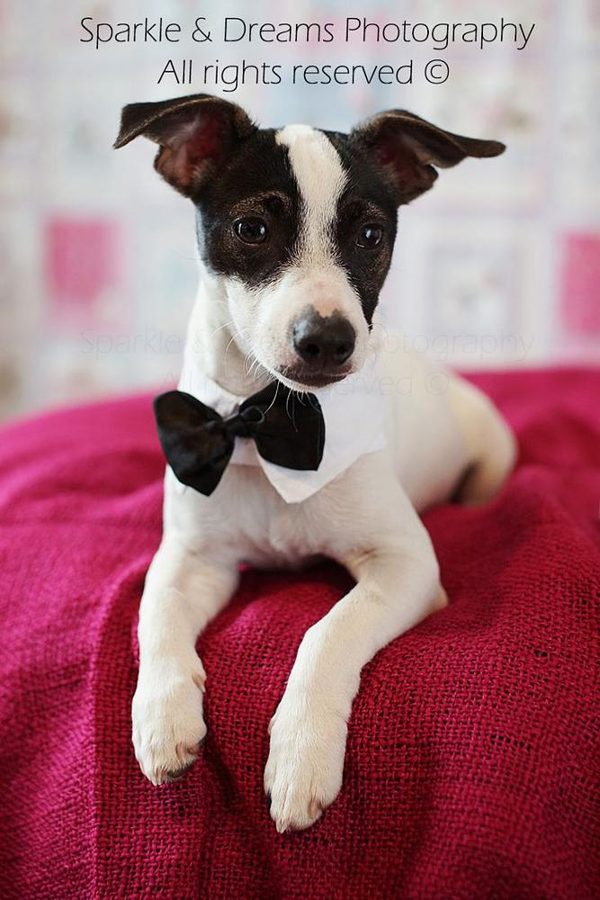 Photo in Animal #puppy #dog #small dog #natural light #bow tie #pets
