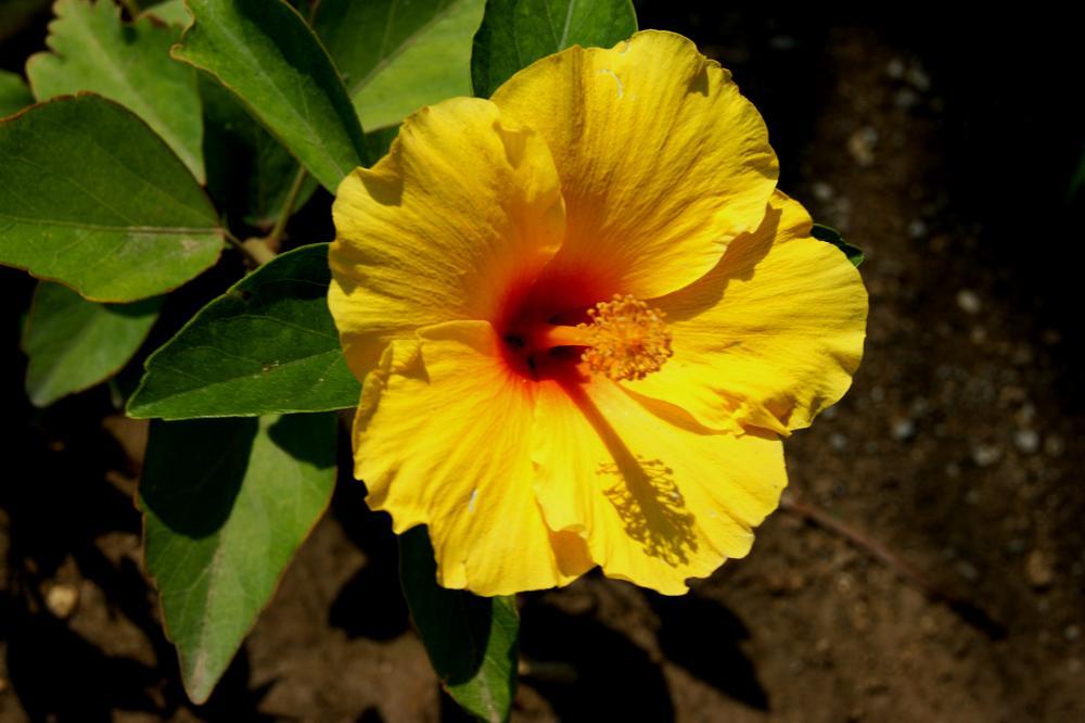 Photo in Nature #hibiscus rosea #yellow #garden #green #flower #mersin #turkey