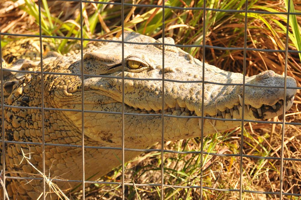 Photo in Animal #salt water #crocodile #brown