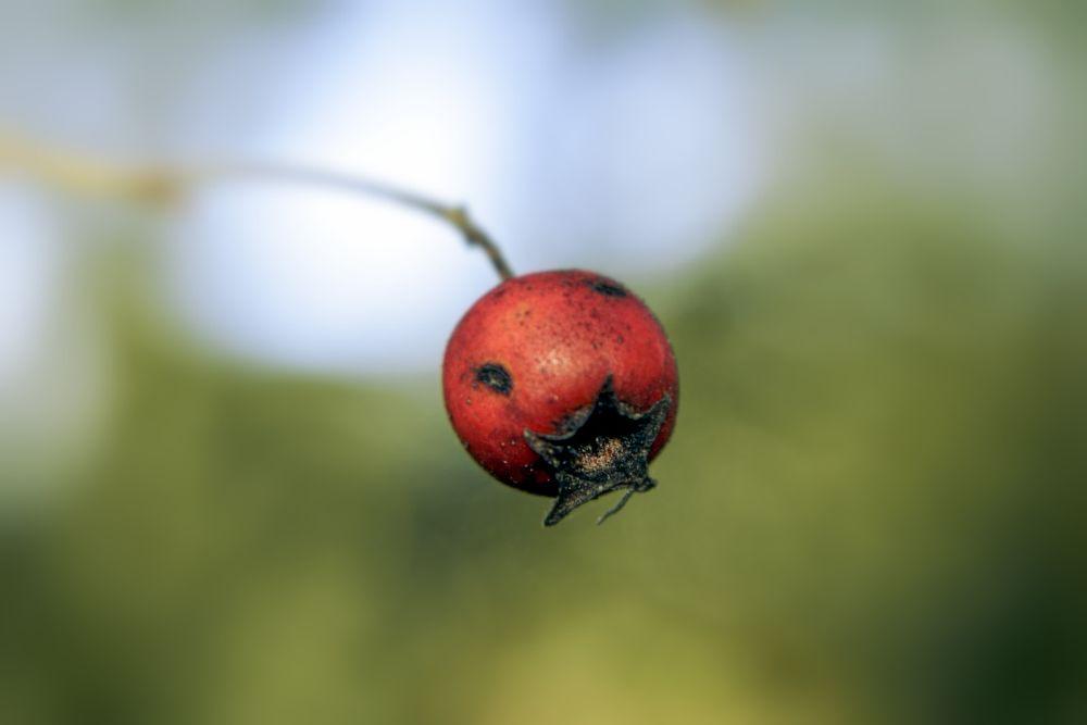 Photo in Macro #red #berrie #macro #light #colors #nature