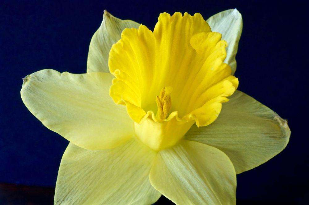 Photo in Macro #macro #daffodil #yellow #closeup #close up #close-up #flora #floral #flower #nature #petals