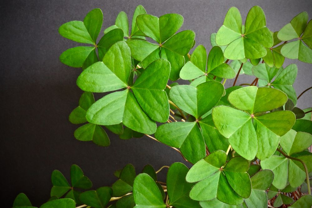 Photo in Nature #clovers #clover #green #leaves #nature #natural #flora #plant #macro #closeup #close up #close-up