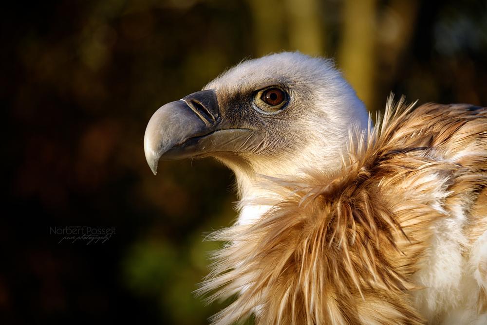 Photo in Animal #gänsegeier #griffon vulture #greifvogel #bird of prey #old world vulture #altweltgeier #gyps fulvus #accipitridae #aegypiinae #asfresser #scavenger