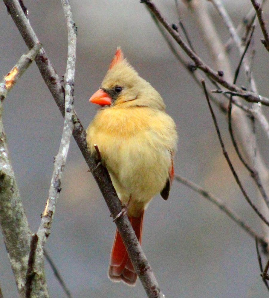 Photo in Animal #female cardinal #cardinal #bird #red bird