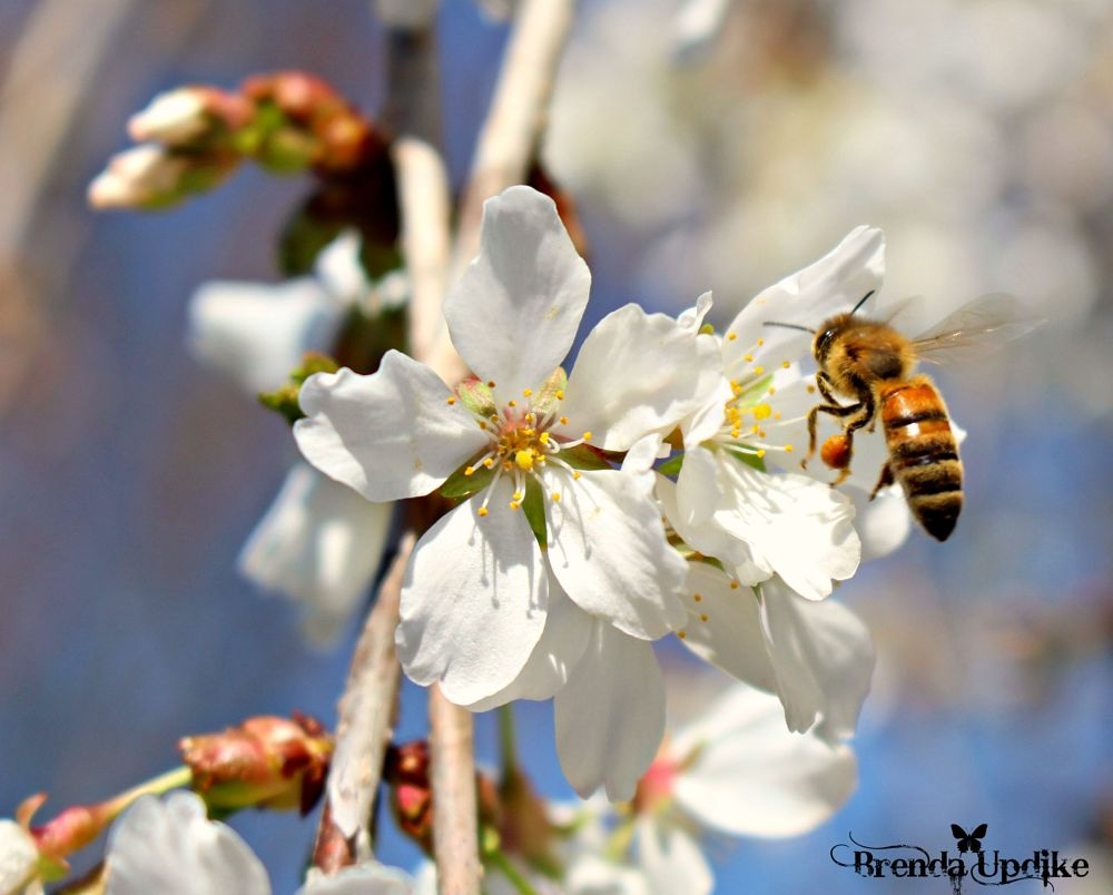 Photo in Nature #bees #cherry blossoms #honey bees