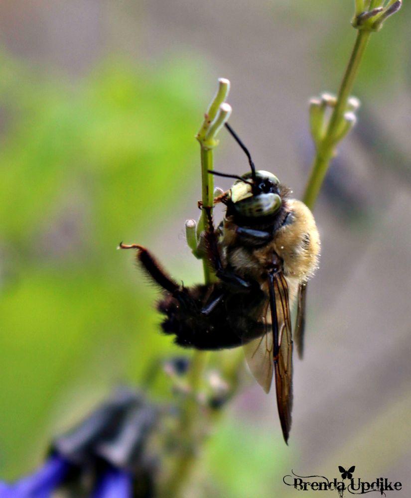 Photo in Nature #male carpenter bee #carpenter bee #bee #wood bee