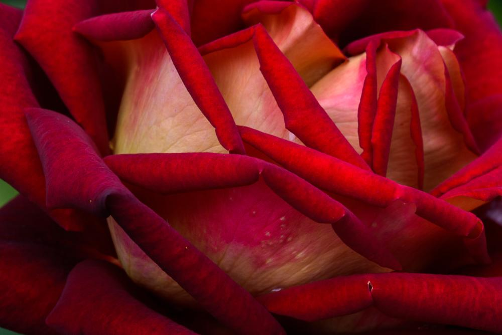 Photo in Nature #red #rose #flower #flowers #роза #цветы