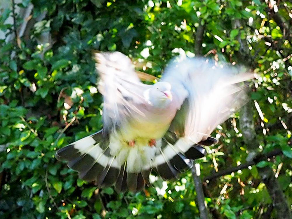 Photo in Animal #pigeon #sound barrier #raynes park #merton