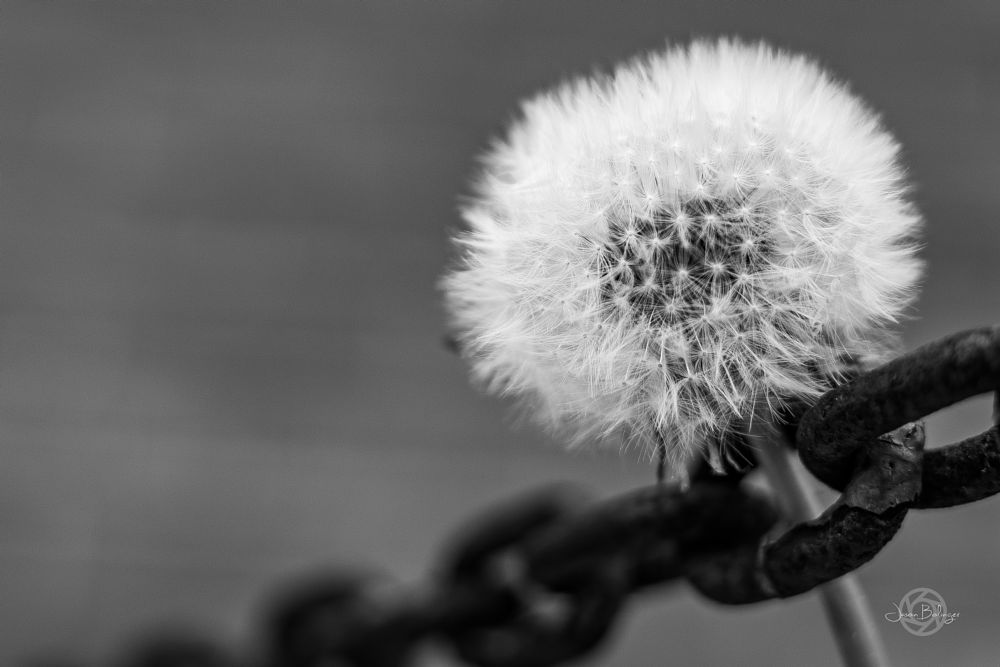 Photo in Black and White #dandelion #chain #soft #strong #bond #contrast