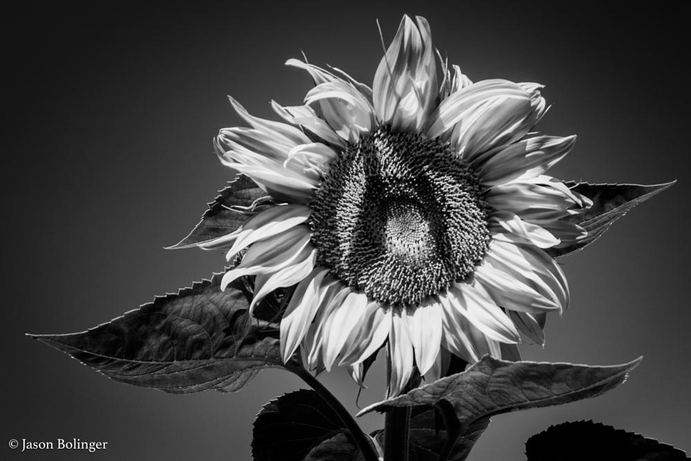 Photo in Black and White #flower #sun #nature #leaf #petal