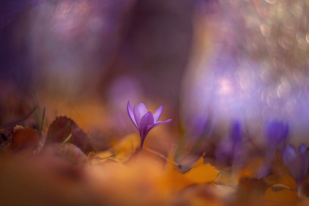 Photo in Nature #purple #nikon #flowers #season #light #orange #nature #bokeh