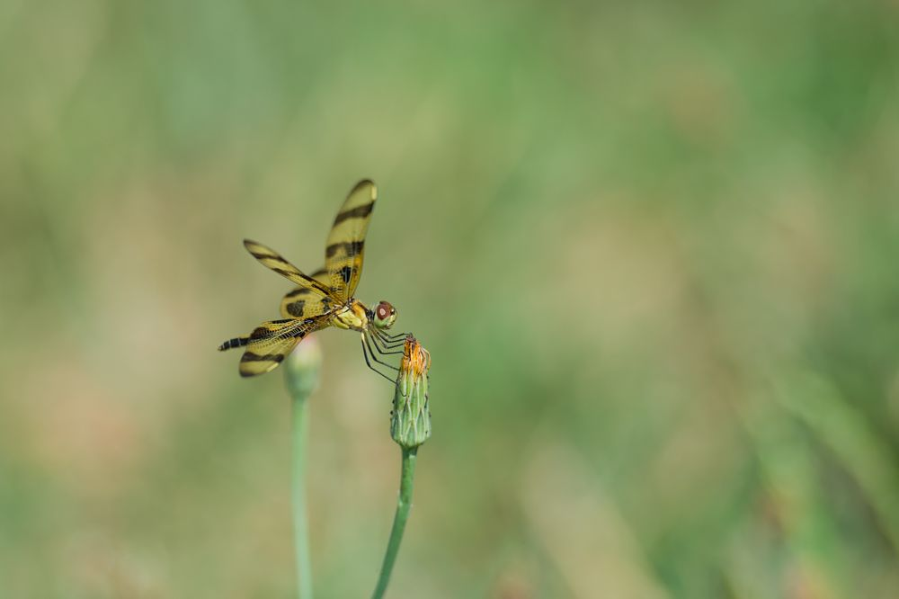 Photo in Nature #dragonfly #insect #wings #flower #nature #summer #bug