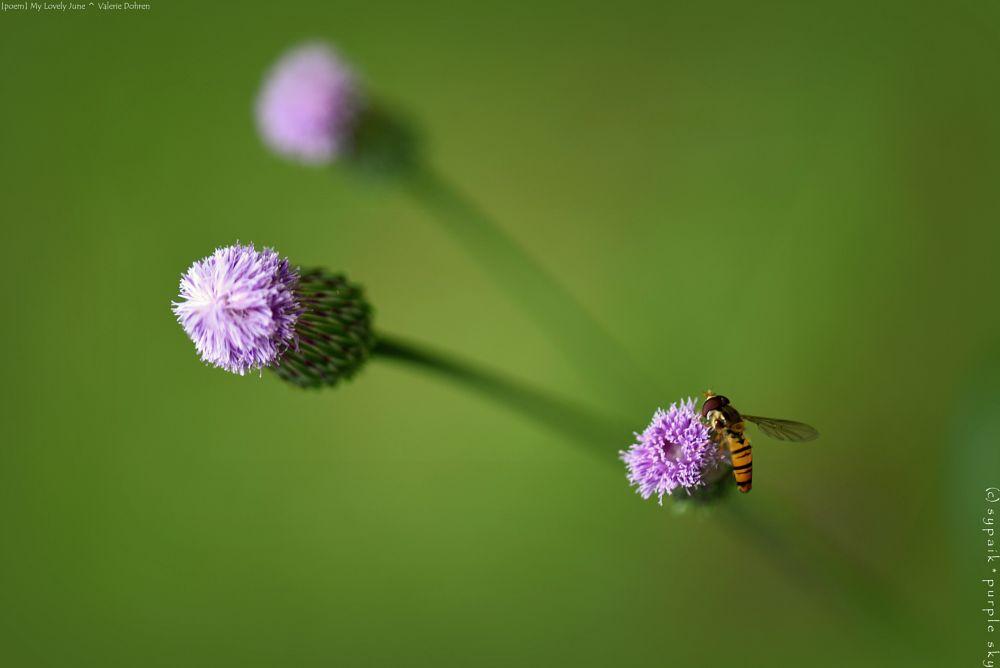 Photo in Macro #poem by valerie dohren #wild plant #wild flower #purple flower #greenish background #macro #closeup #nature #nikon #june