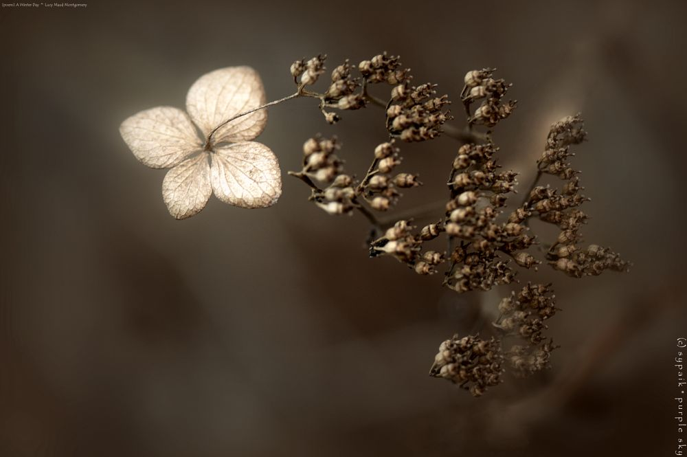 Photo in Macro #poem by lucy maud montgomery #hydrangea #dried plant #macro #closeup #nature #nikon