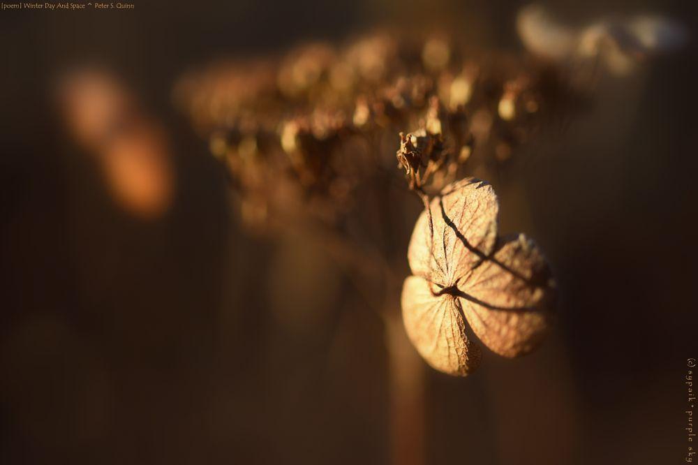 Photo in Macro #poem by peter s. quinn #hydrangea #dried flowers #dried plant #macro #closeup #bokeh #light & shadow #nikon #winter