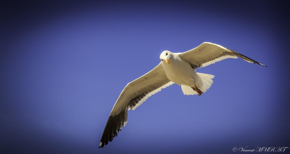 Photo in Animal #seagull #bird #animal #wildlife #sea #beach #los angeles #santa monica #summer #sun #blue #sky #california #nature #eyes