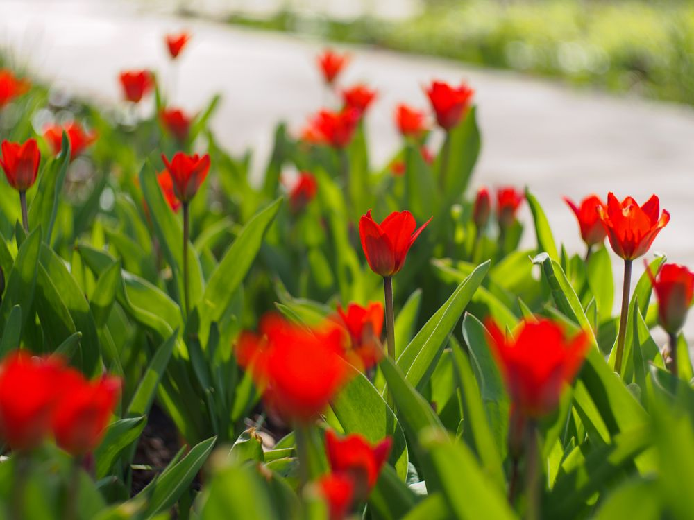 Photo in Nature #flower #tulip #red #green #spring