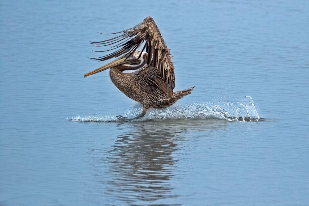 Photo in Animal #aves #avifauna #nature #wildlife #birding #bird #flight #water #feather #wings #webbed #feet #caribbean #canon #7dmk2 #west indies #trinidad #tobago #background #landing #shy #coy #pelican #brown #blue #waves #island #animal #outdoor #sunshine