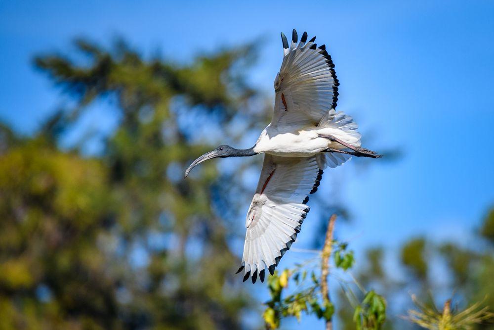 Photo in Animal #africa #bird #ibis #kenya #animal #bird in flight #white bird