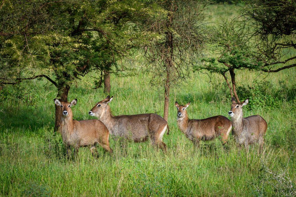 Photo in Animal #africa #serengeti #tanzania #waterbuck #animal #antelope