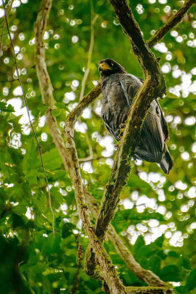 Photo in Animal #birds #costa rica #hawks