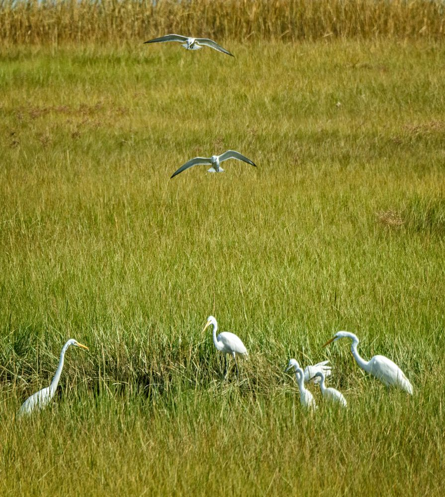 Photo in Animal #birds #cape cod #eastham #fort hill #heron #nature #animals #egret #tern