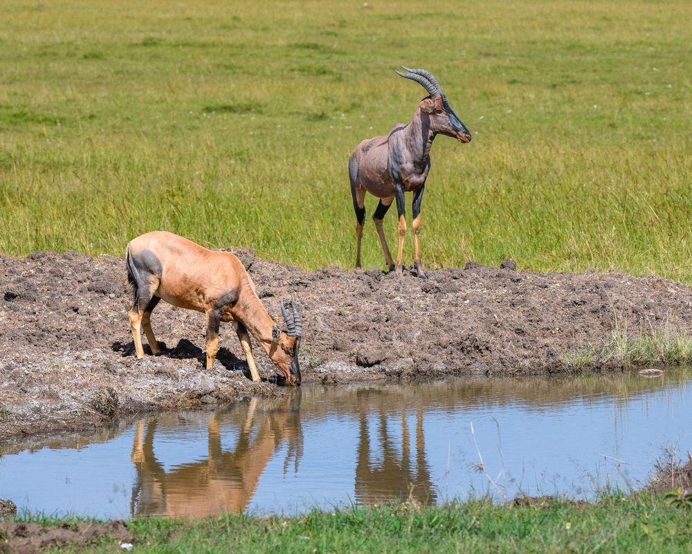 Photo in Animal #africa #kenya #masai mara #animal #antelope #reflections #topi #watering hole