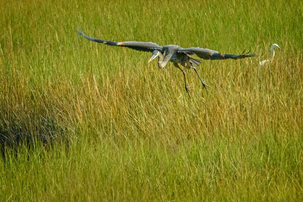 Photo in Animal #birds #cape cod #eastham #fort hill #heron #nature #animals