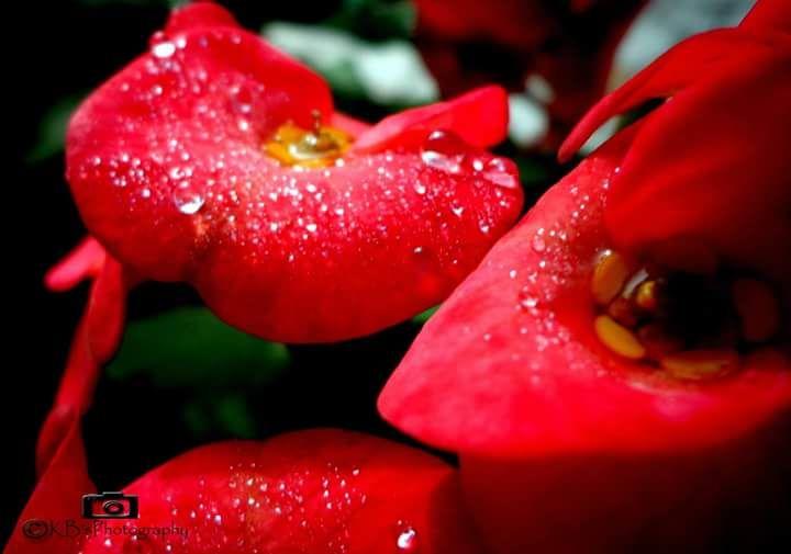 Photo in Random #red #flowers #water #drops #winters