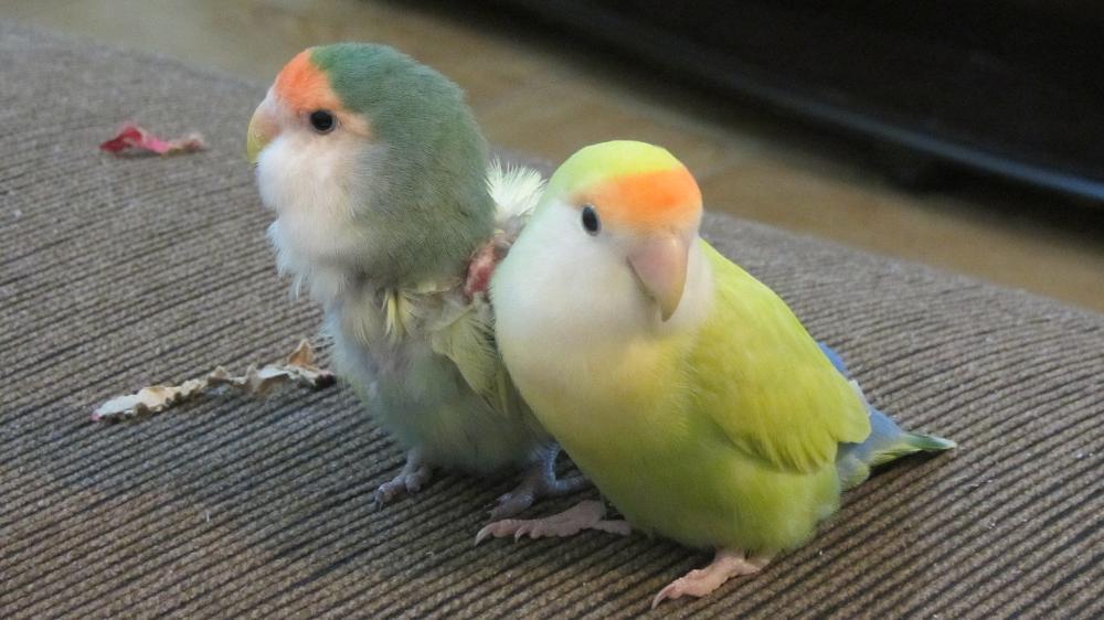 Photo in Animal #birds #lovebirds #love birds