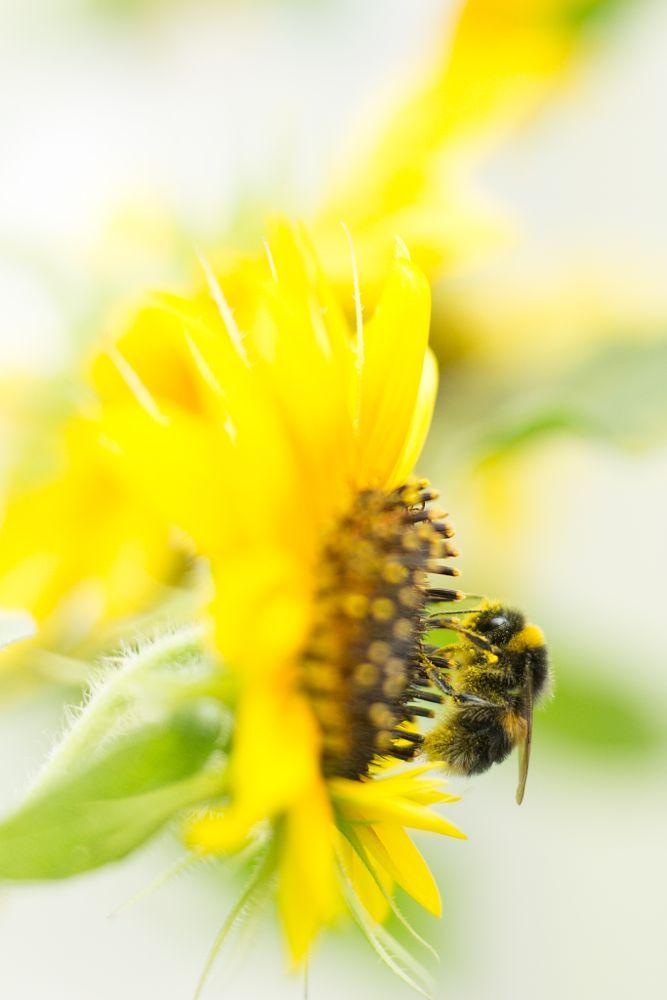 Photo in Macro #bumble bee #sun flower #pollen #bloom #flower