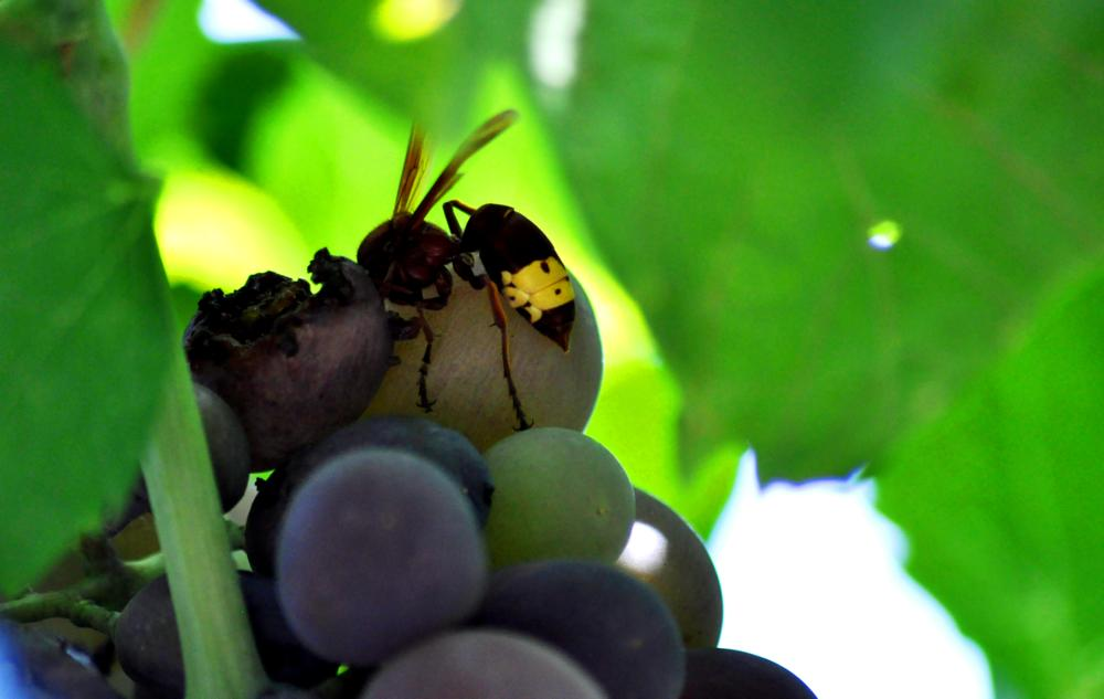 Photo in Nature #bee #hornet #grape #nature