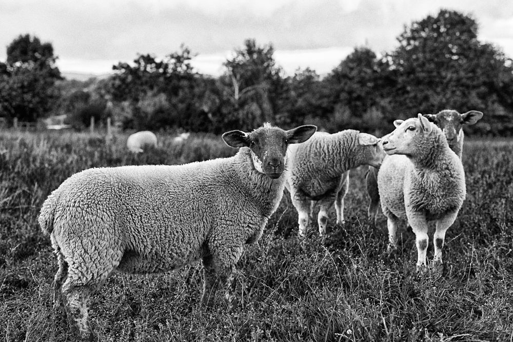 Photo in Black and White #sheep #animals #farm #field