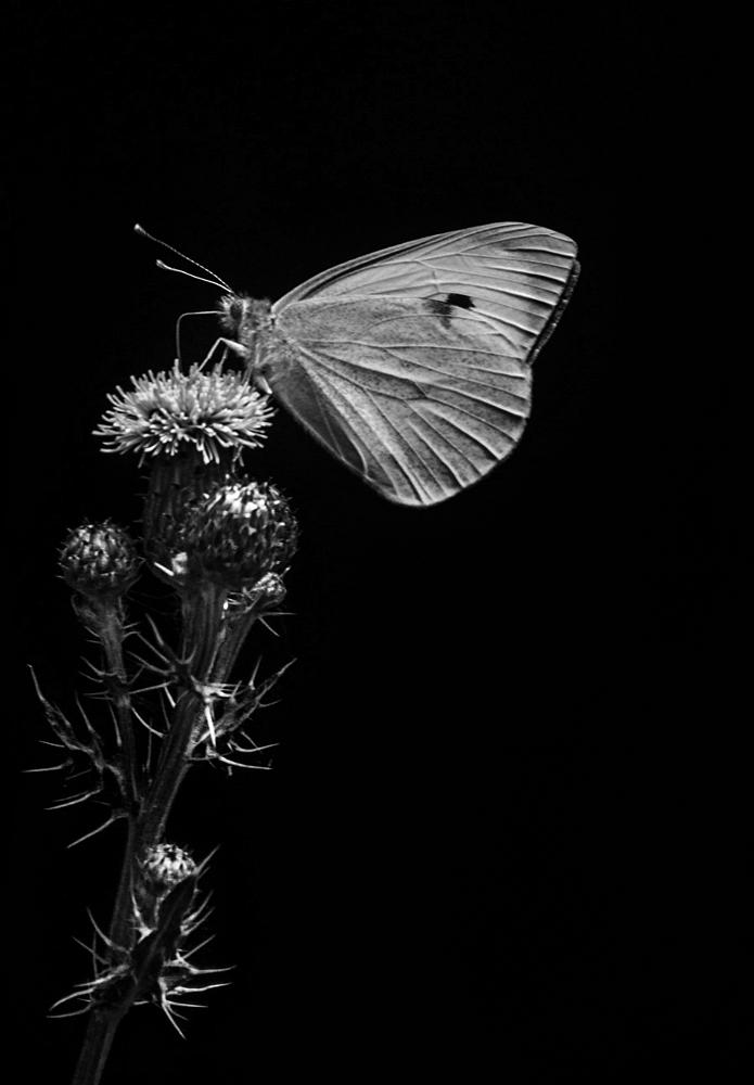 Photo in Black and White #butterfly #white #black #flower #light #insect