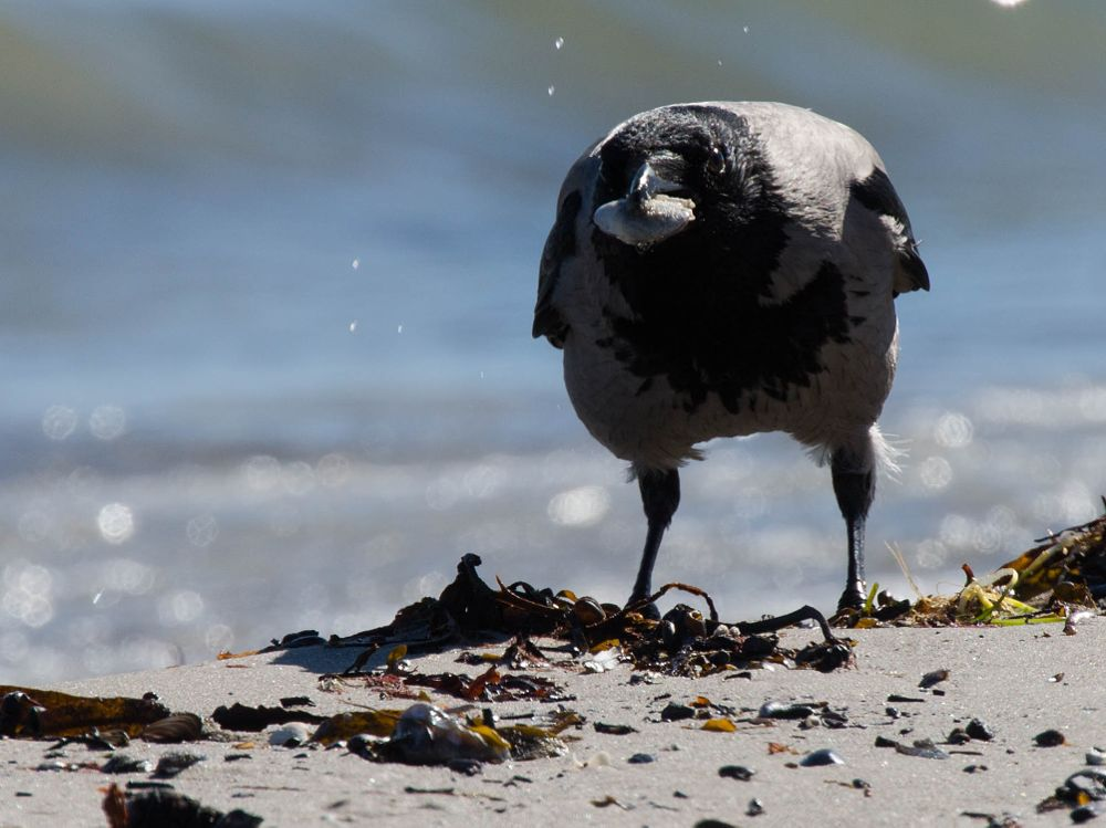 Photo in Animal #animal #bird #crow #beach #water