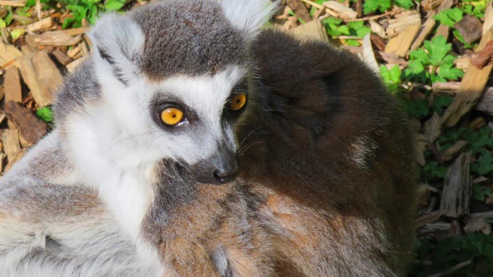 Photo in Animal #ring tailed lemur #lemur #animal #animals #wildlife #eyes #nature #royalty free photo