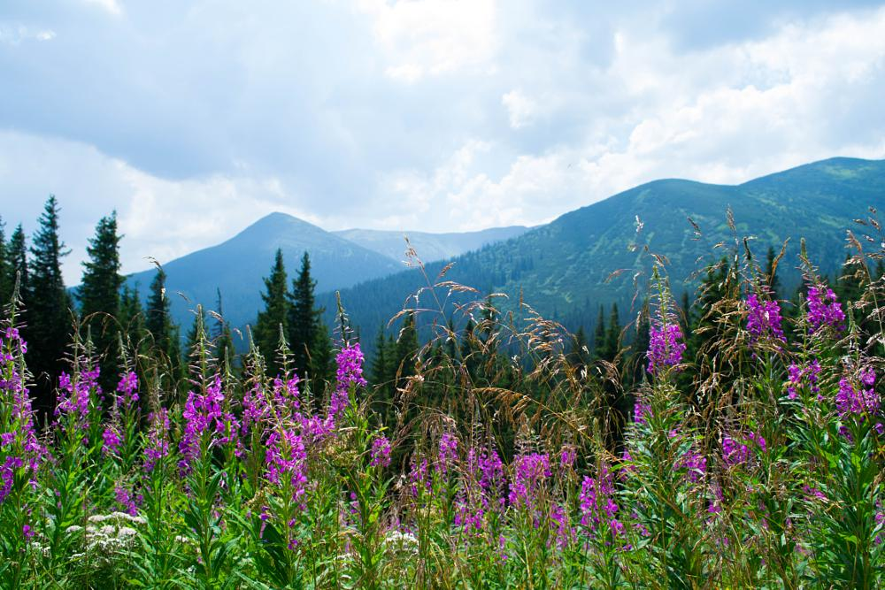 Photo in Landscape #flower #flowers #mountains #carpathian