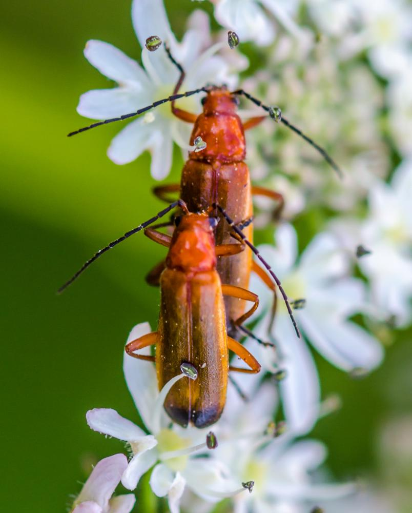 Photo in Nature #insects #macro #mating
