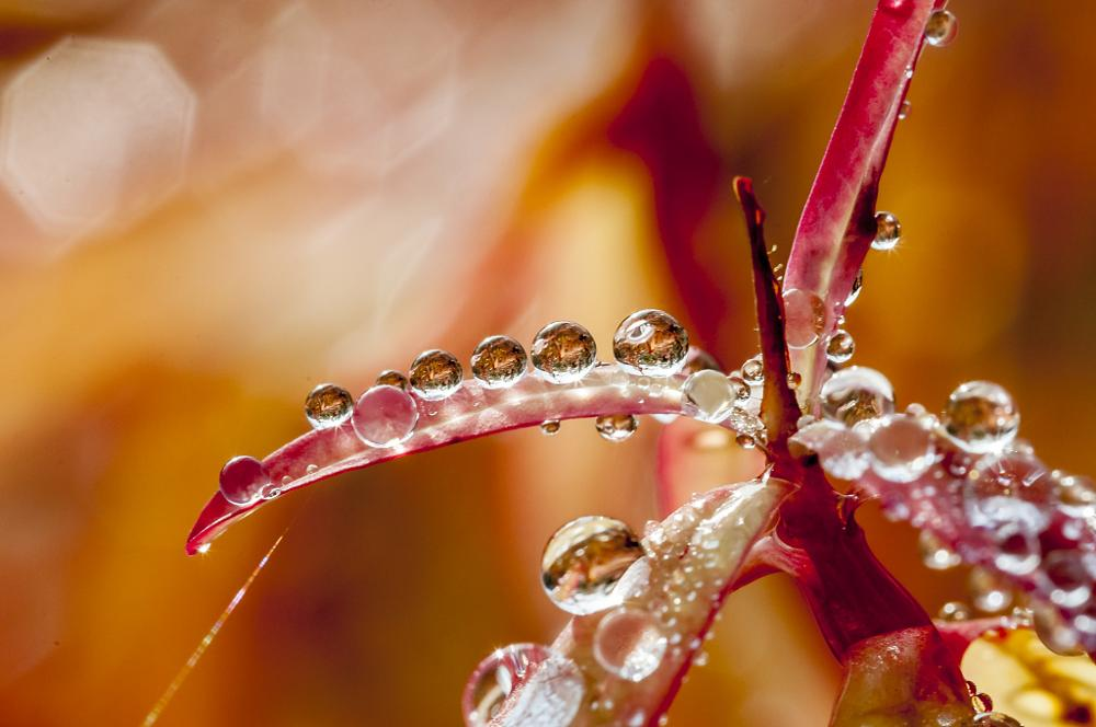 Photo in Macro #dew #plant #water drops #red #reflections #refractions