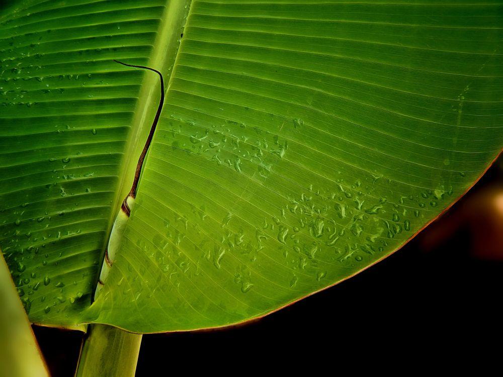 Photo in Macro #banana #leaf #green #nature #macro #tree #australia #qld