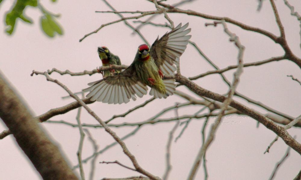 Photo in Animal #bird #animal #wildlife #coppersmithbarbet #tree #birds