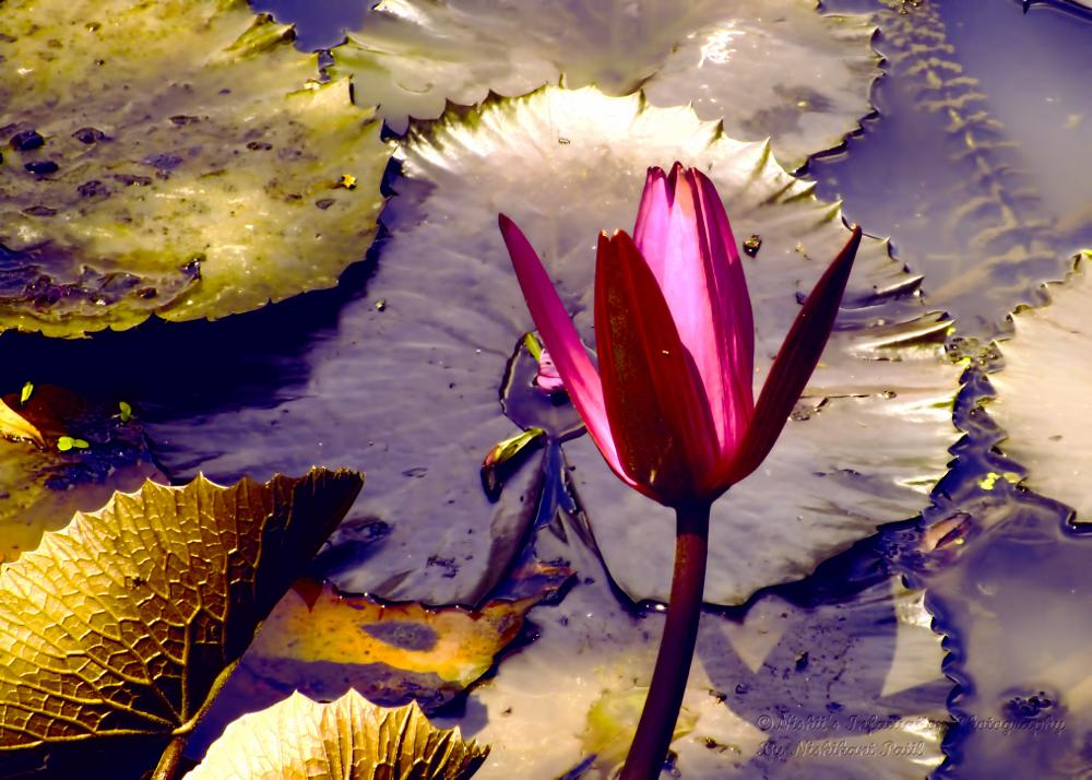 Photo in Nature #flower #lotus #nature