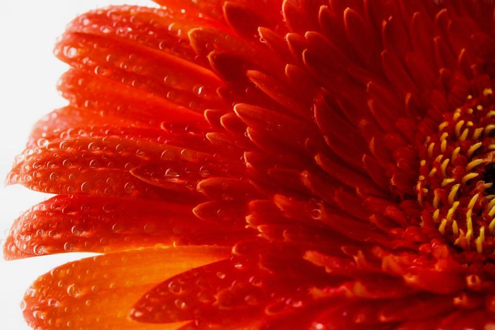 Photo in Macro #red #flower #gerbera #summer #light