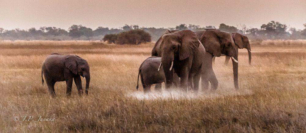 Photo in Animal #loxodonta africana #elephant #botswana