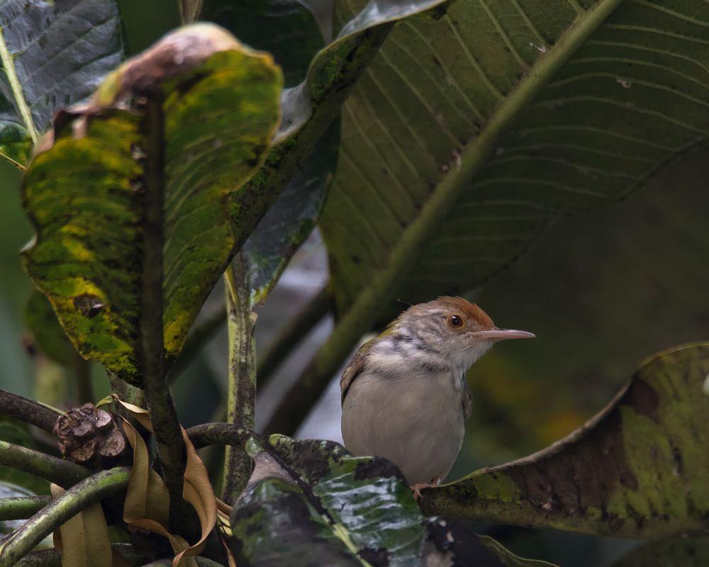 Photo in Animal #male common tailorbird #tailorbird #southeast asia birds #birds #lone.aww #animal #orthotomus sutorius