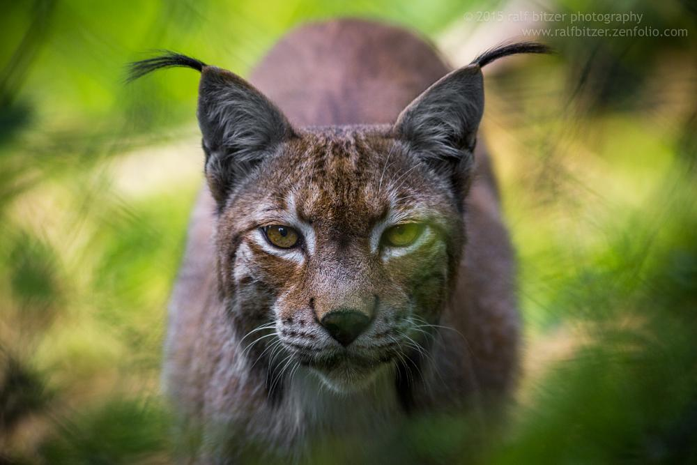 Photo in Random #1.4xteleplus mc4 dgx #2014 #augen #bitzer #buchsammy #canon ef 300 mm 4.0 l usm #eos 5d markiii #huefingen #hüfingen #katze #kenko extender #laurasiatheria #luchs #lynx #natur #ohren #ralf #raubkatze #raubtier #scheu #schwarzwaldzoo #tier #tierpark #wald #waldkirch #wild animal fence #wildtier #zaun #animal #big cat #book sammy #canon #cat #ears #eyes #forest #green #grün #nature #predator #ralf bitzer photography #shyness #zoo