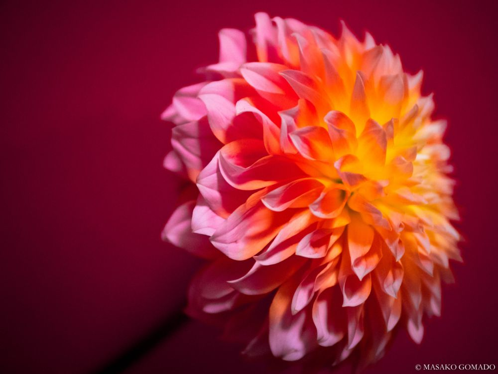 Photo in Nature #dahlia #flower #petal #pink #head #still #image #nature #macro