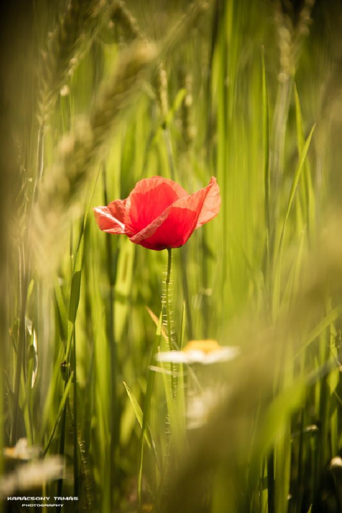 Photo in Nature #red #poppy #field #flower #green #hidden #beauty