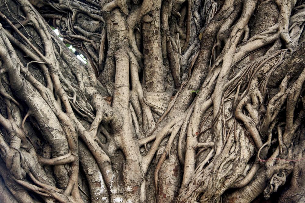 Photo in Random #root banyantree abinalex ph