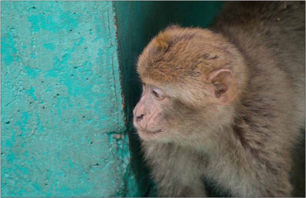Photo in Animal #monkey #animal #looking out